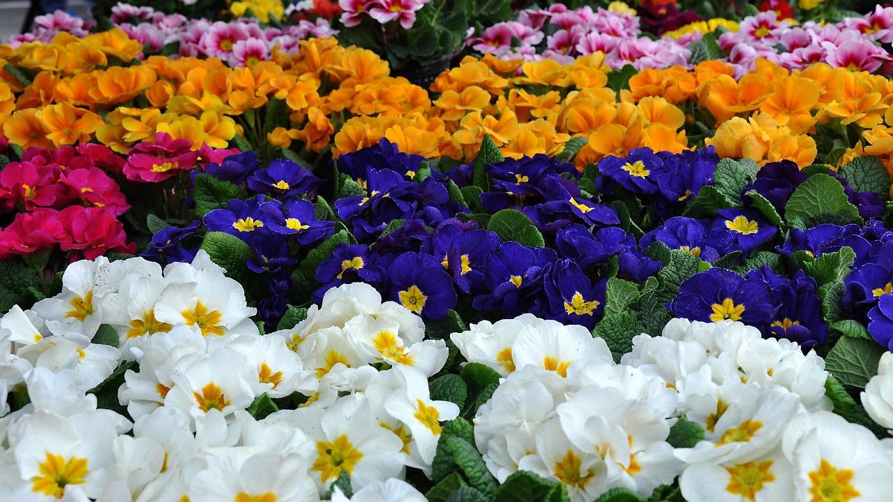 plantas de flores primula