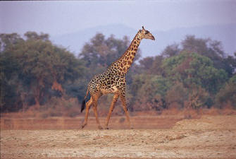 unique species to South Luangwa
