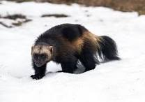 Image result for wolverine animal