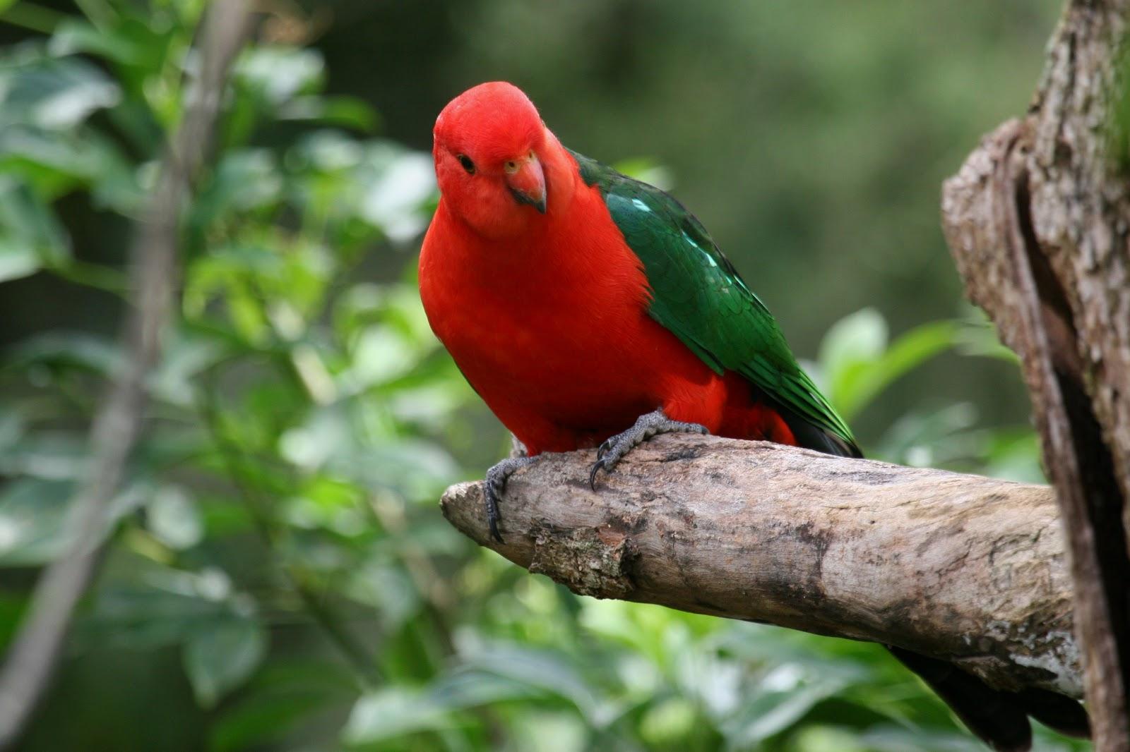 Image result for australian king parrot