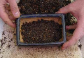 substrato no fundo Fazer um bonsai passo a passo