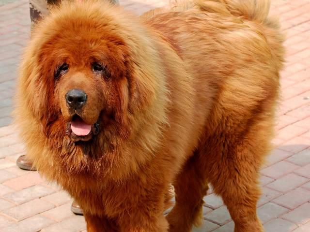 Image: Red Tibetan Mastiff Dog Hong Dong maybe most expensive Dog in the World