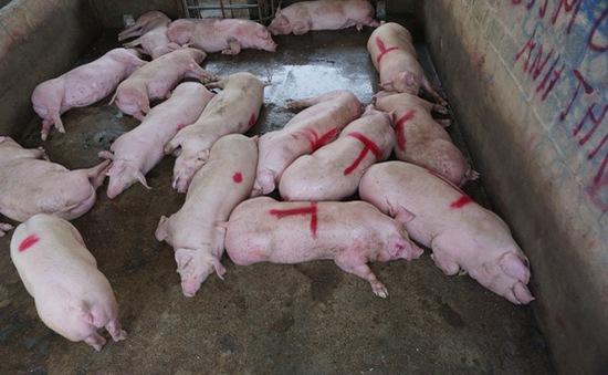 Doanh nghiệp lợn đồng loạt báo lãi, tiểu thương và lái buôn lỗ nặng - Ảnh 1