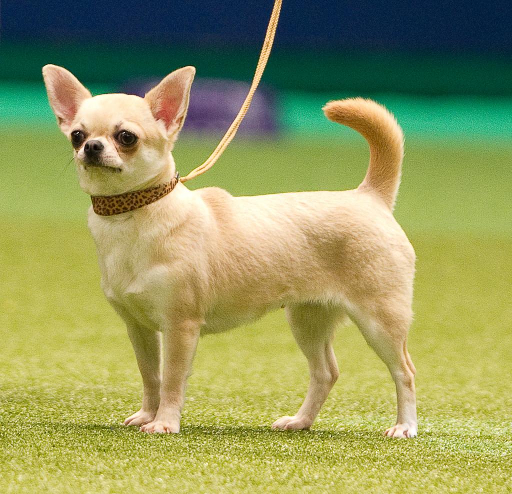 Chihuahua đi dạo