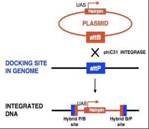 in vivo RNAi | DRSC/TRiP Functional Genomics Resources