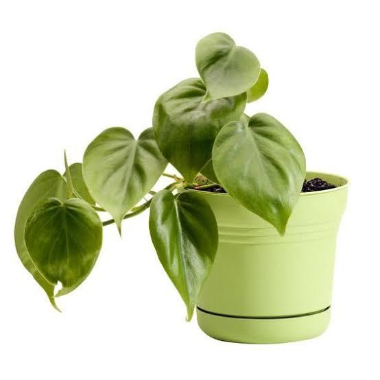 1. ฟิโลใบหัวใจ / Heart-Leaf Philodendron