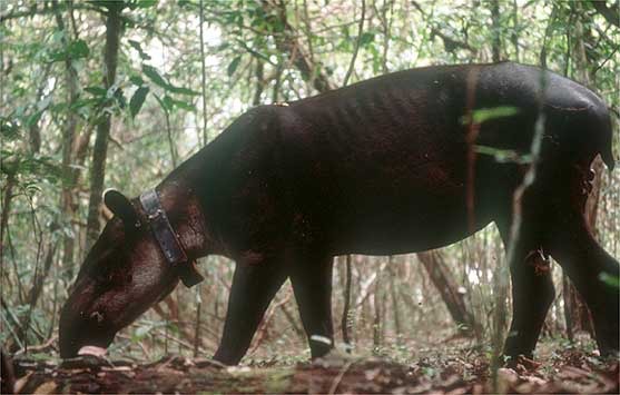 Tapir displaying a head down, wide stance, typical of the initial effects caused by the induction anesthetics.
