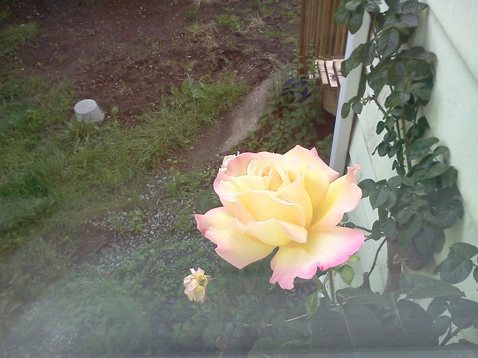 IMG1315 - ROSE.jpg