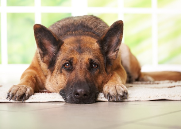 large-dog-breeds-german-shepherd-istockphoto-11984868.jpg