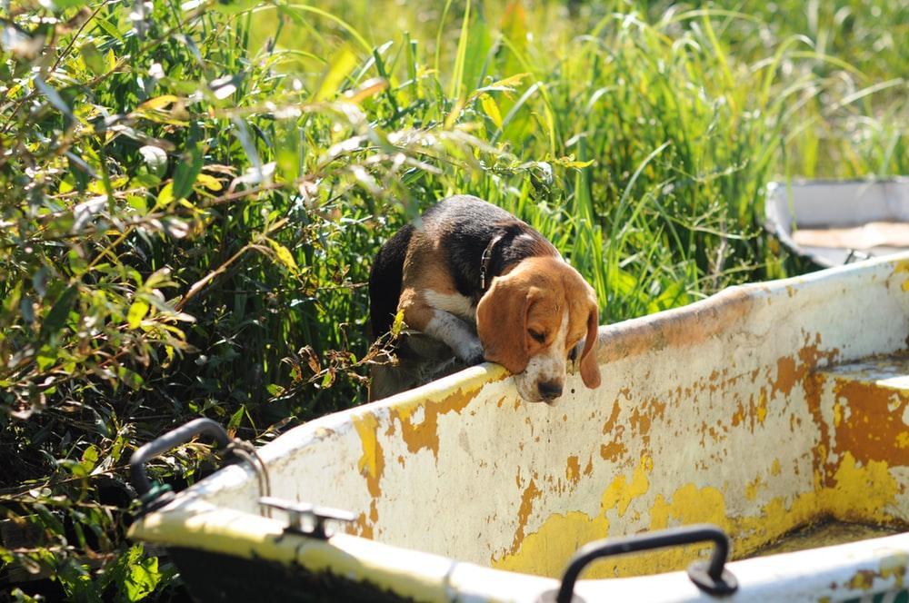 Description: adult tricolor beagle