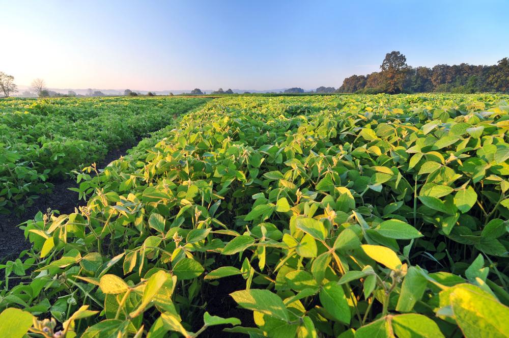 Soja continua sendo o carro-chefe da produção de grãos do Brasil. (Fonte: Shutterstock/Soru Epotok/Reprodução)