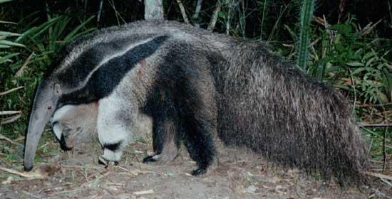 Giant anteater (Myrmecophaga tridactyla) in the Kaa-Iya Gran Chaco National Park, Bolivia.