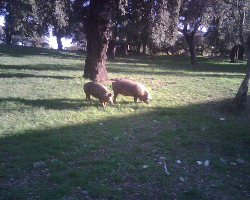 ruta del jamón ibérico dehesa y cerdos