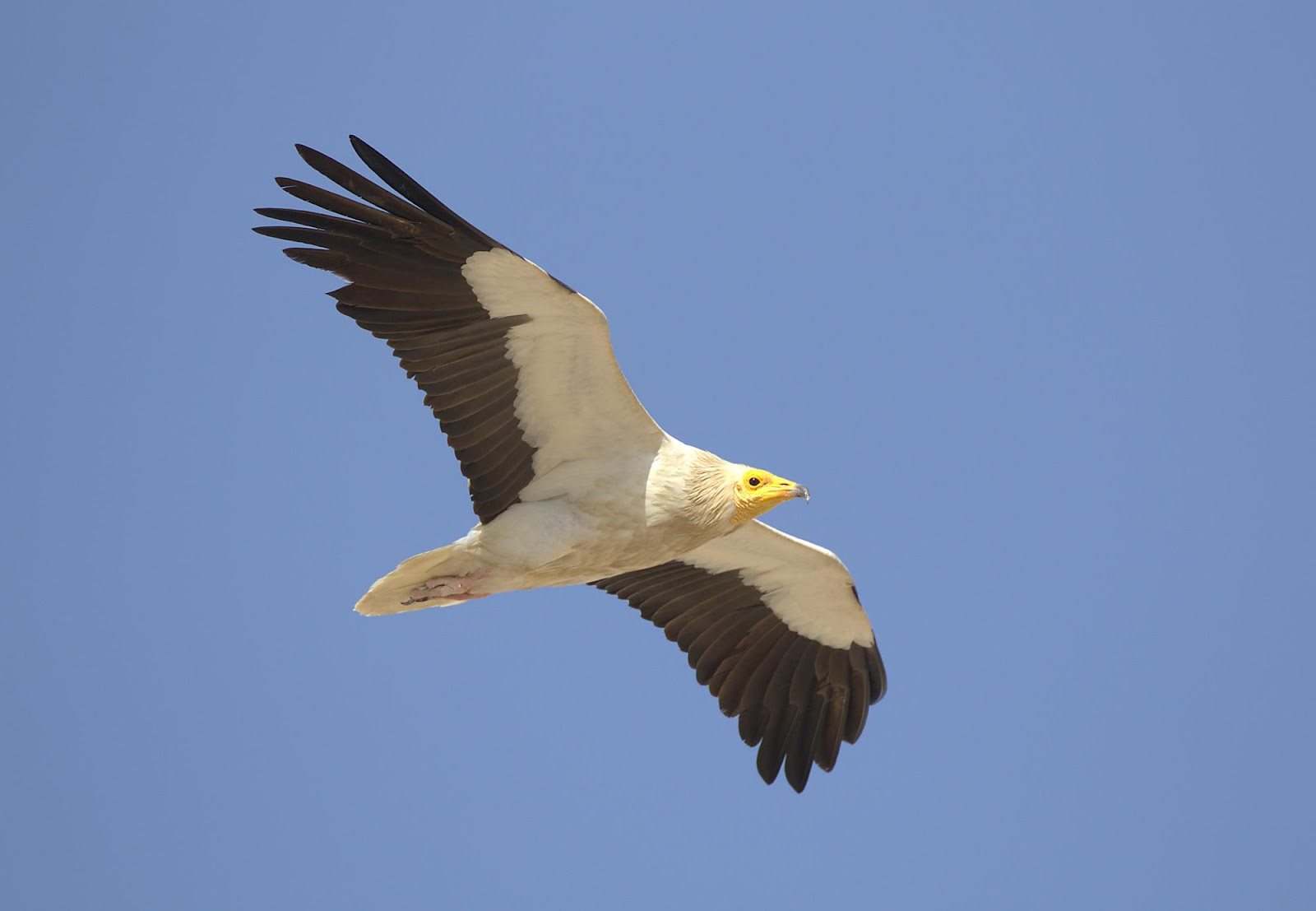 Egyptian vulture_rsz.jpg
