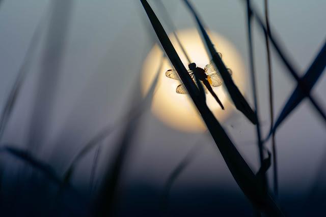 centrando a la libélula