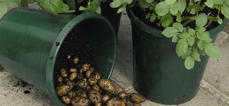 potato bucket.jpg