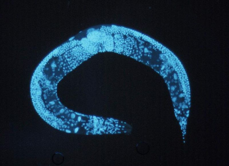 Enlarged_c_elegans.jpg