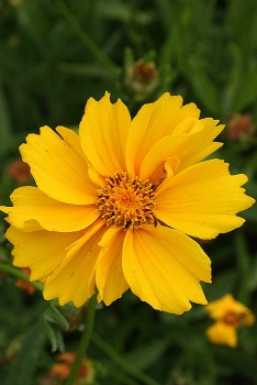 10 beautiful flowers in tennessee smoky mountain travel guide 5 lanceleaf coreopsis these pretty flowers mightylinksfo