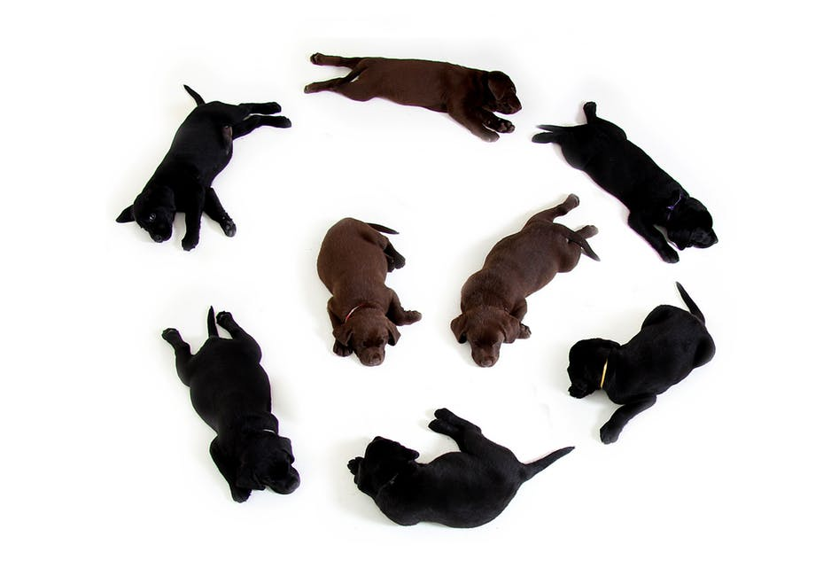 puppies-black-brown-labrador-160829.jpeg