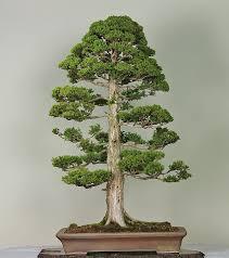 bonsai modelo chokkan