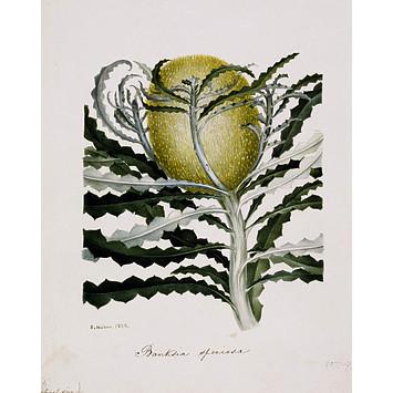 Banksia Speciosa, Samuel Holden.1838