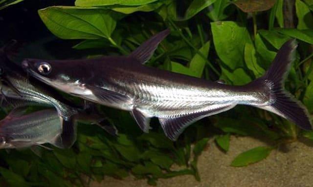G:\Nova pasta (2)\Peixes\-Panga\Excluir\peixe-ornamental-tubaro-agua-doce-pangasius-faixa-azul-15cm-D_NQ_NP_860012-MLB26887349125_022018-F.jpg