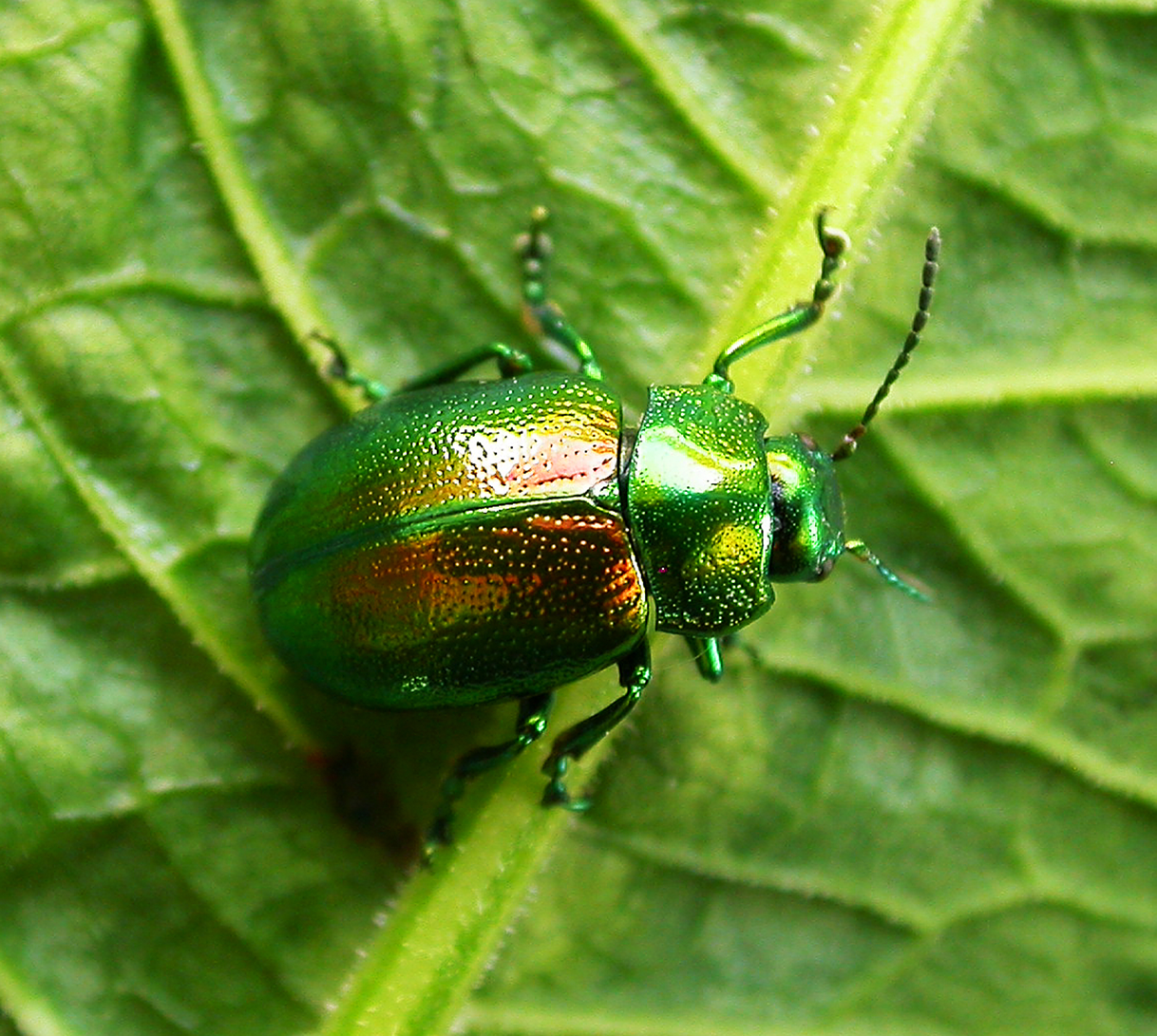 Tansy_beetle_Geoff Oxford.png