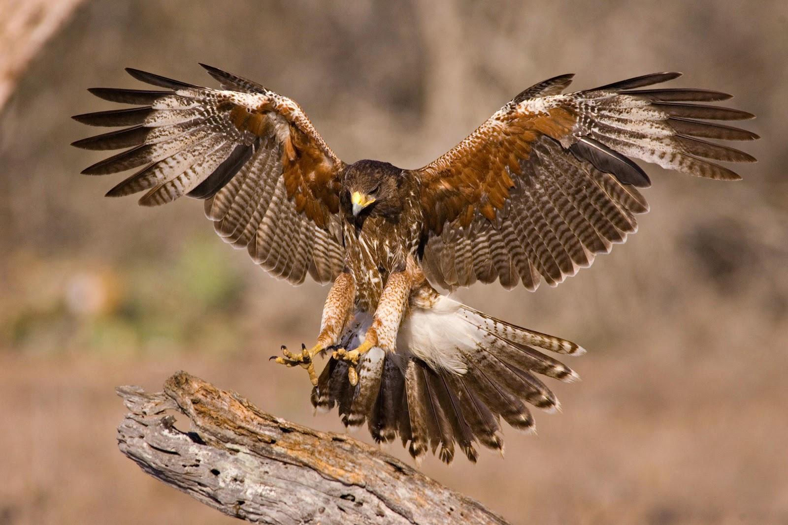Image result for hawk