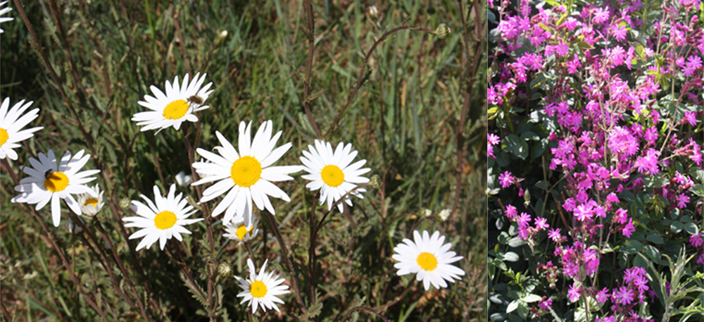 The Sign Maker has lots of wildflowers for the insects including wild daisies and red campion.