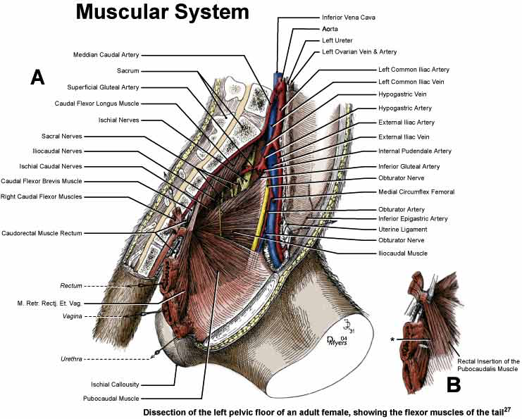 Illustration of the left pelvic floor of an adult rhesus monkey brain [27].