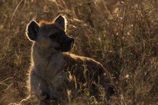 Animais selvagens da África do Sul - Uma hiena bela e formosa nas primeiras horas do dia.