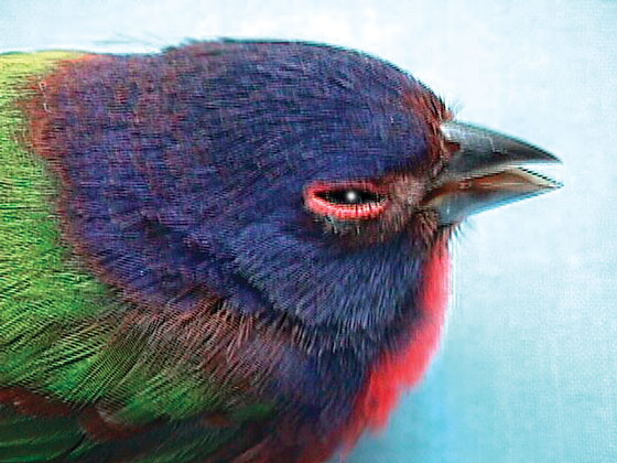 The insectivorous passerine, such as this painted bunting, is seldom seen when ill