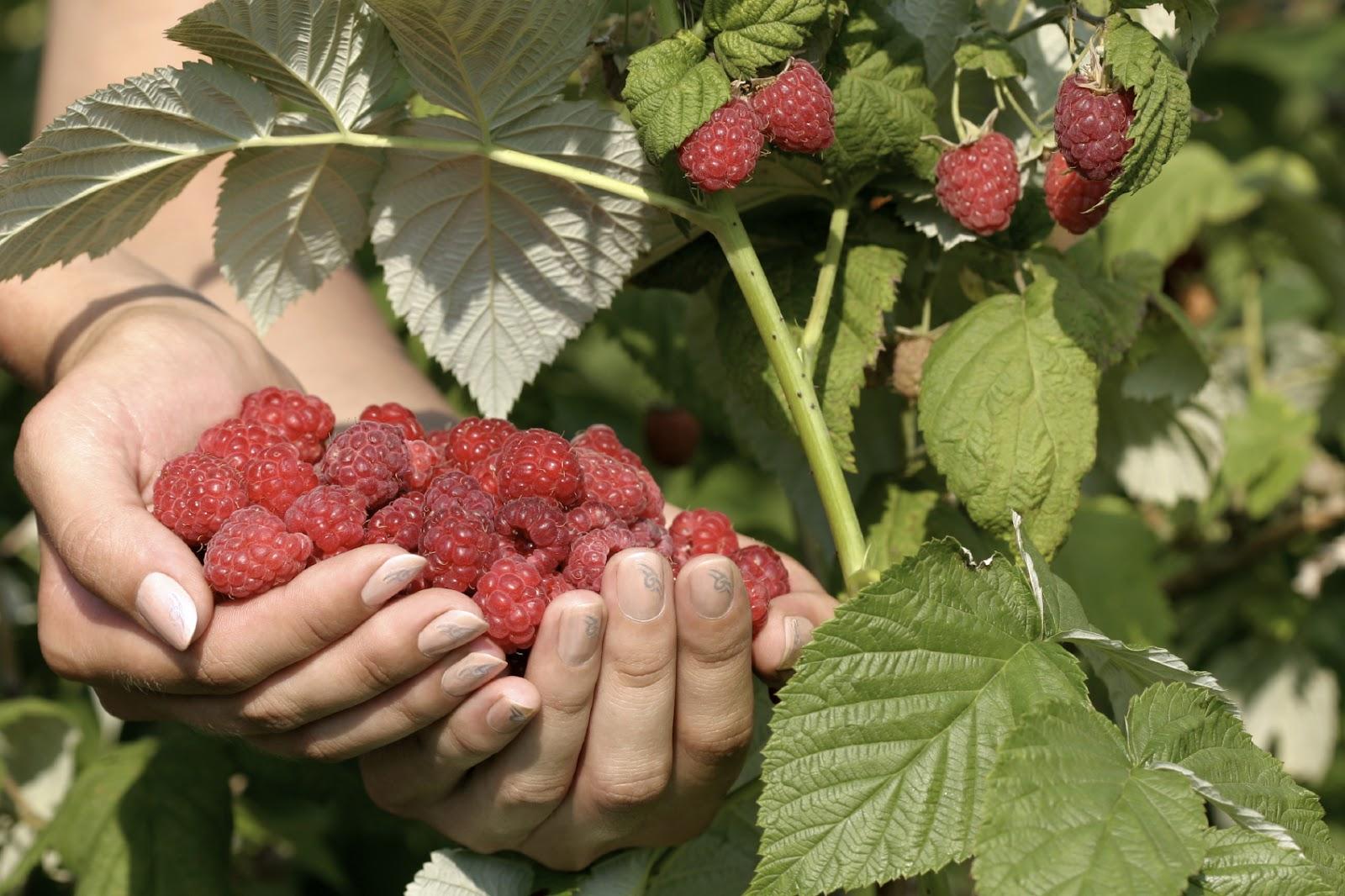 Raspberries-handful3.jpg