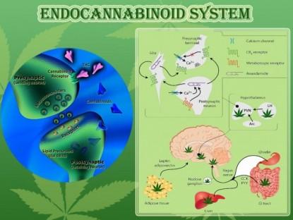 the endocannabinoid system  - dial up and down bodily functions