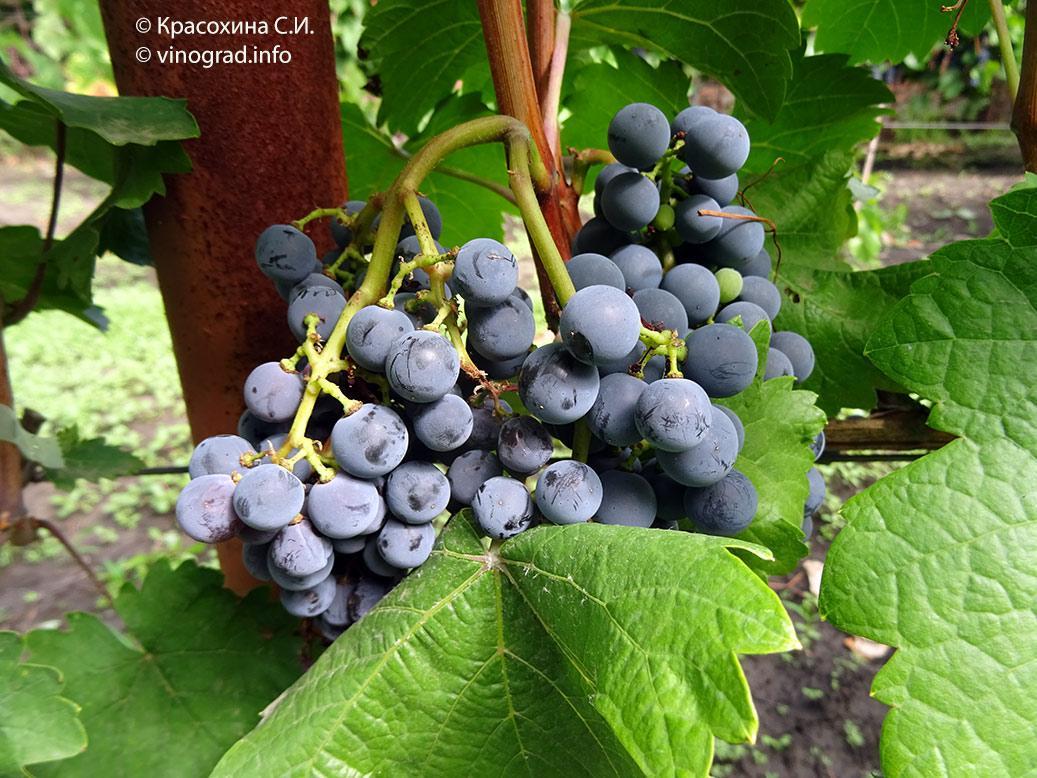 """Картинки по запросу """"сорт виноград пинотин"""""""
