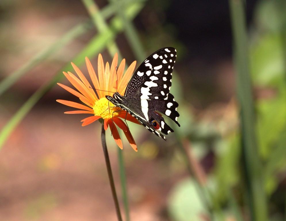 cirus swallowtail (Copy).jpg