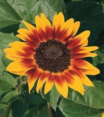 Sunflower Ring of Fire | All-America Selections