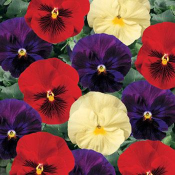 http://www.2bseeds.com/images/winecheesef1pansy.jpg
