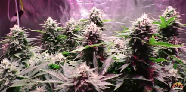 kick ass crop of medical weed