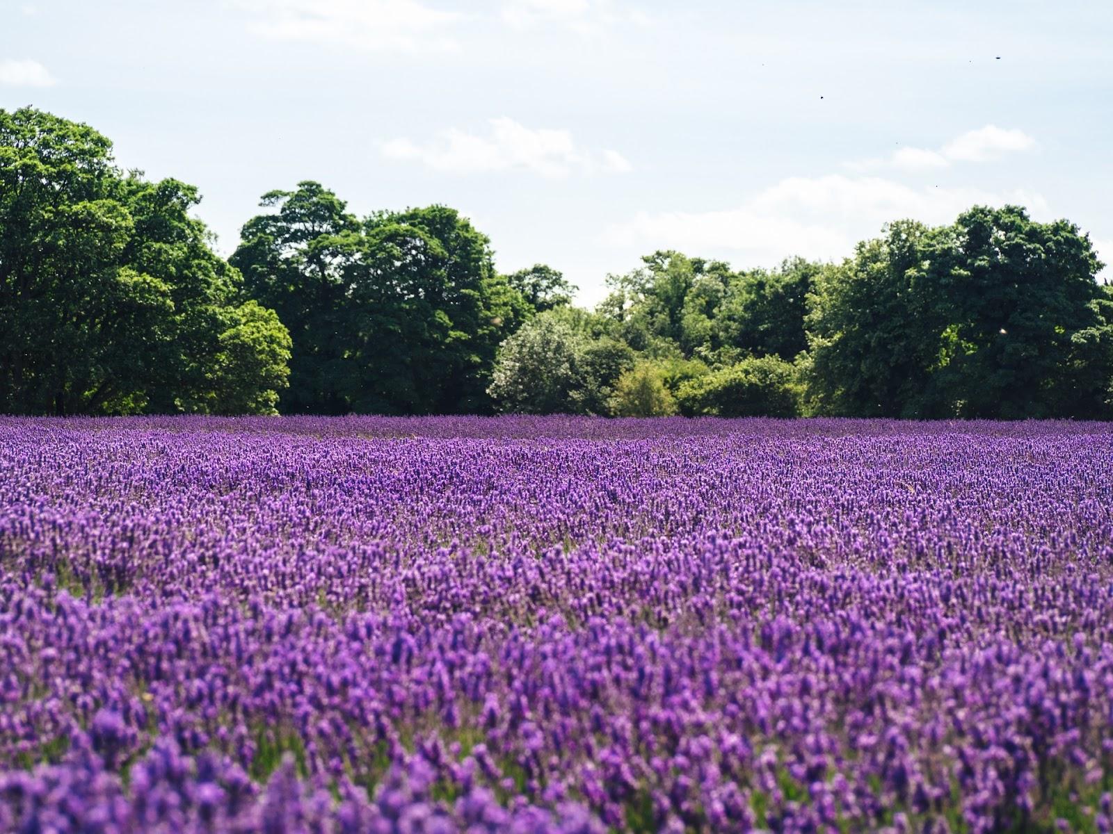 Weide vol met lavendel