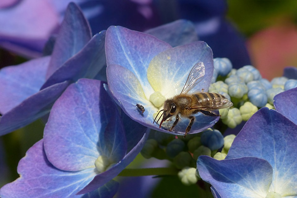 Plantaardige, Hortensia, Plaat Hortensia