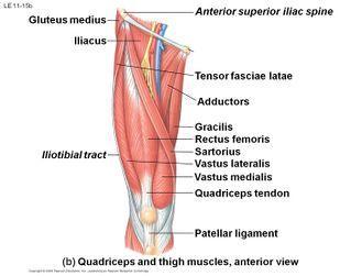 Quadriceps muscle.jpg