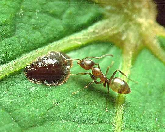 File:Linepithema Argentine ant.jpg