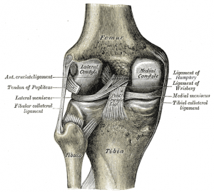 knee-illustration-grays-anatomy-slide348.png