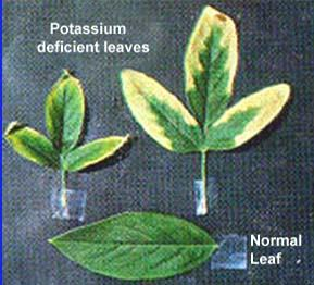 Potassium deficiency symptoms.