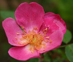 Swamp Rose (Rosa palustris)