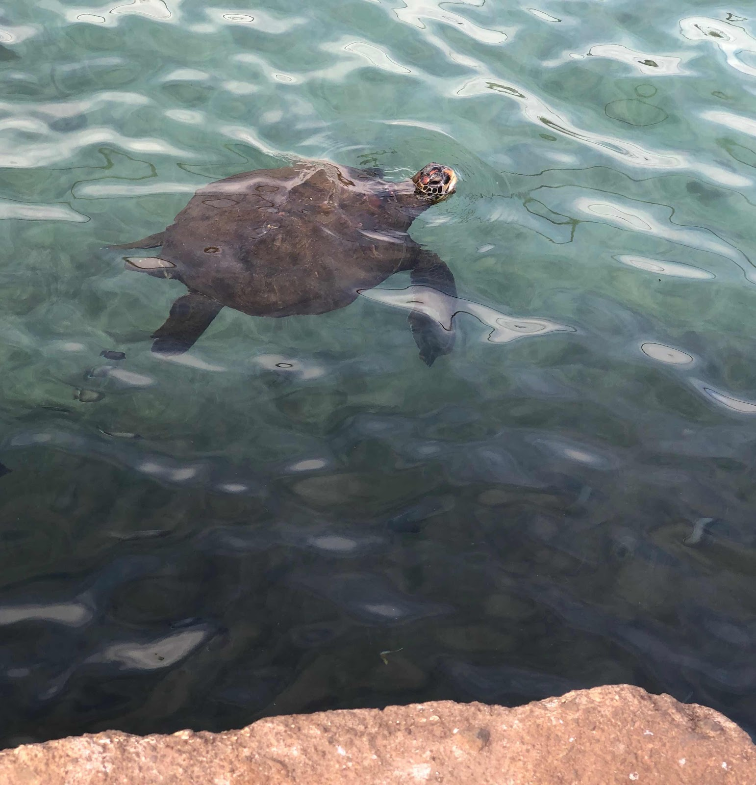Sea turtle hangs out at the boat dock in the downtown area of Rapa Nui (Source: Palmia Observatory)