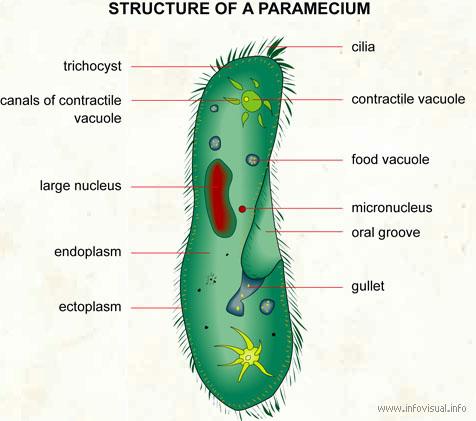Julia ms bio 20 blog protista paramecium euglena ccuart Images
