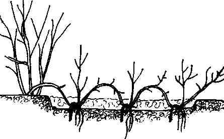 Отводки можжевельника