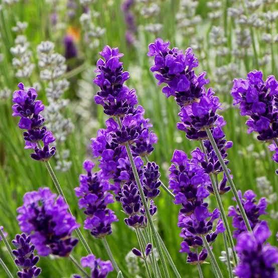 2. ดอกลาเวนเดอร์ (Lavender Essential Oil)